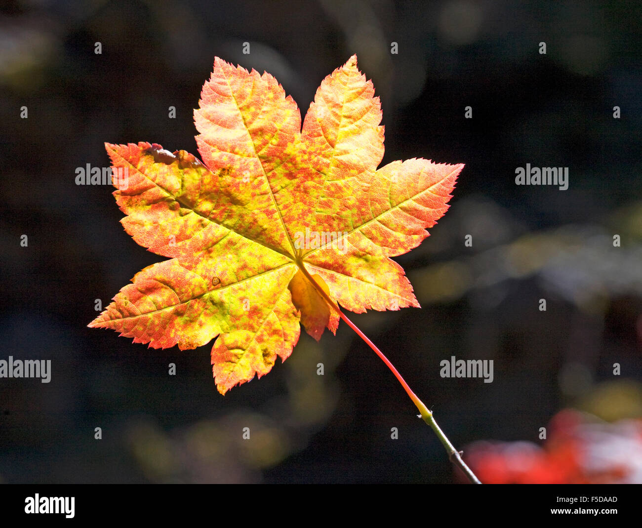 Vine maple leaf in the autumn in the Oregon Cascades - Stock Image