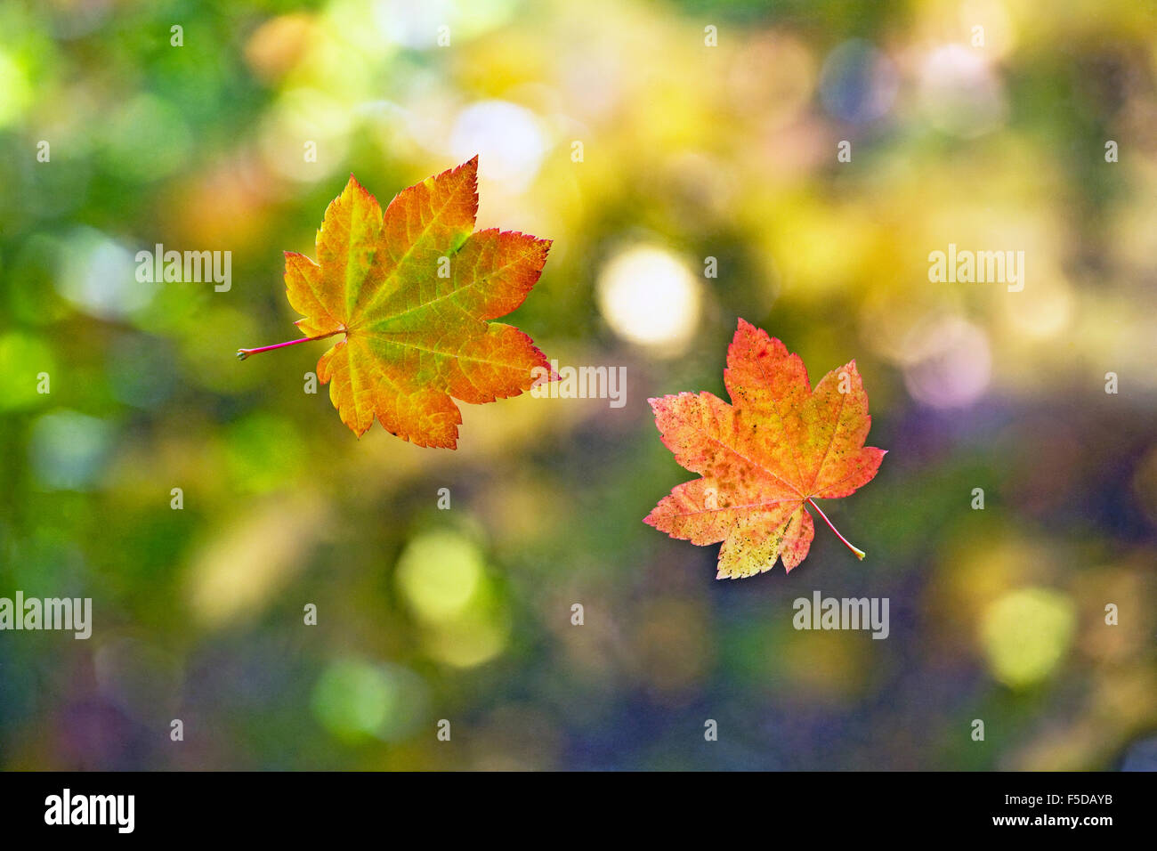 Leaves falling from a maple tree in the autumn - Stock Image