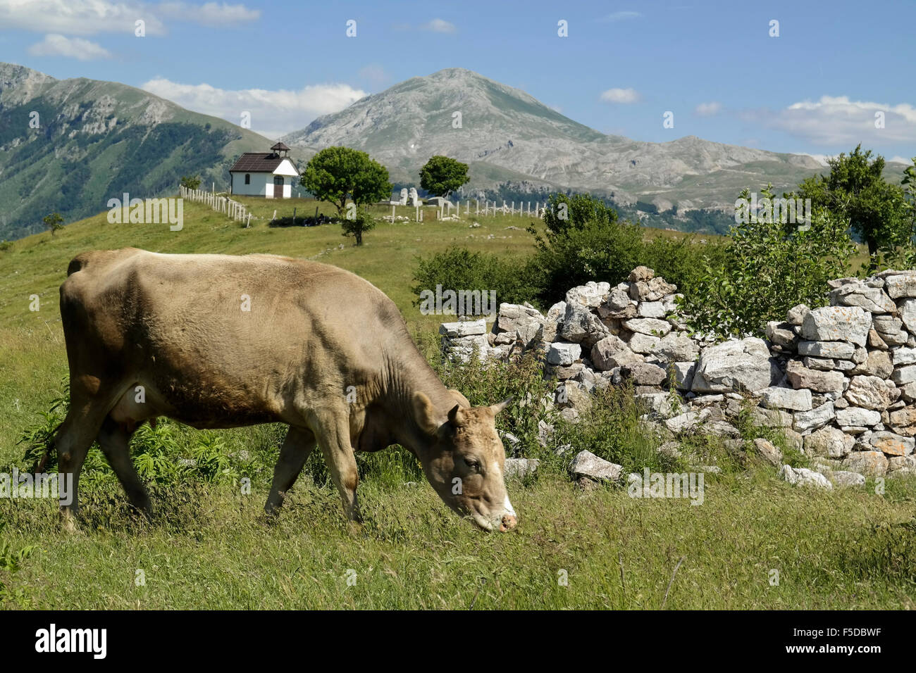 Cow, destroyed house and serbian-orthodox chapel in mountain village Blace (Konjic). - Stock Image