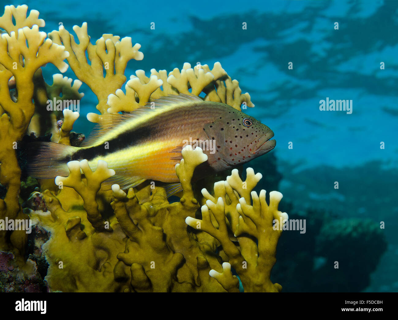 Blackside Hawkfish, Paracirrhites forsteri, perched in Net Fire coral, Millepora dichotoma, Red Sea, Egypt - Stock Image