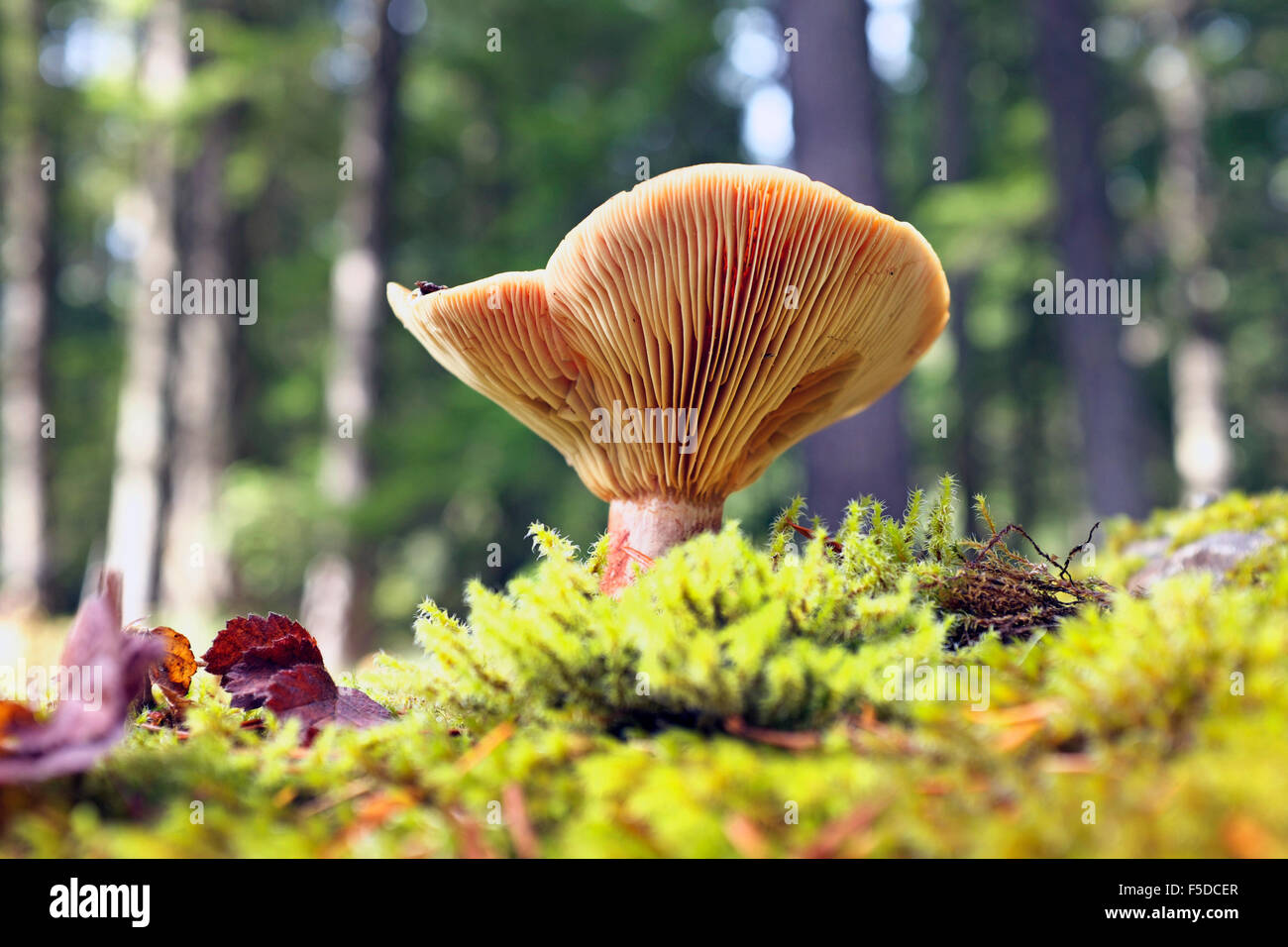 Russula brevipes, a large common mushroom in the Pacific Northwest - Stock Image
