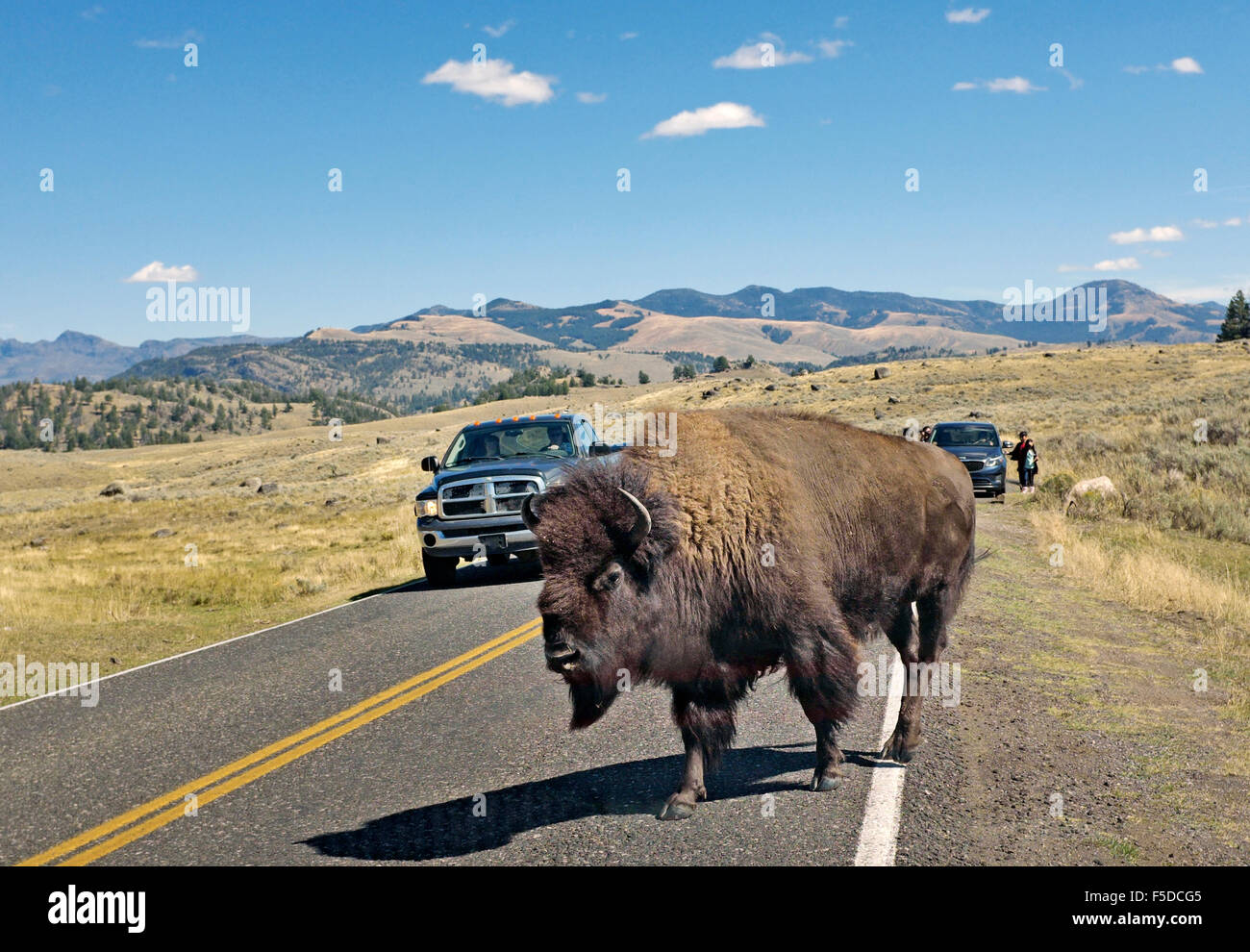 A large buffalo causes a traffic jam as it crosses a highway in Yellowstone National park, Wyoming. - Stock Image