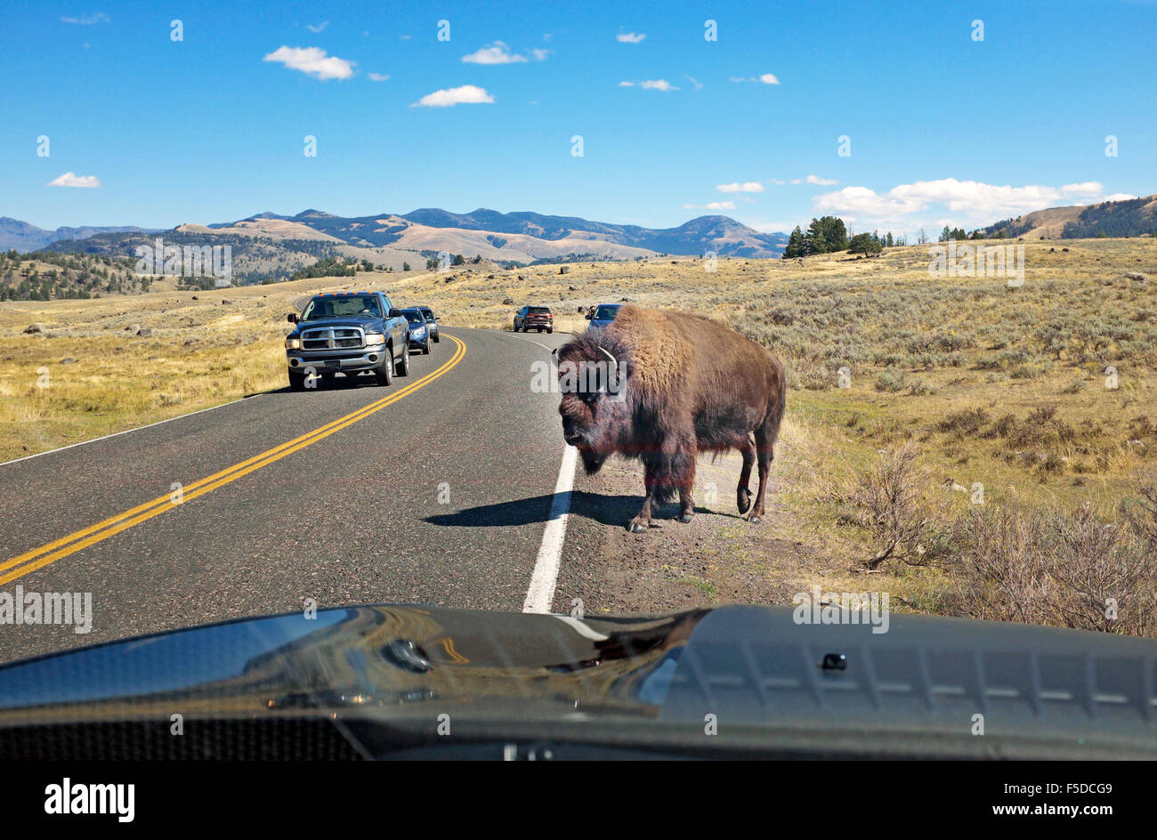 An American bison or buffalo crossing the highway causes a traffic jam in Yellowstone National Park, Wyoming - Stock Image