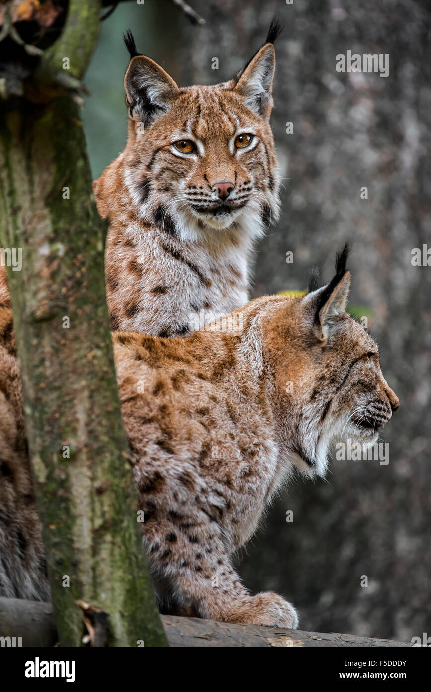 Close up of two Eurasian lynxes (Lynx lynx) in forest Stock Photo