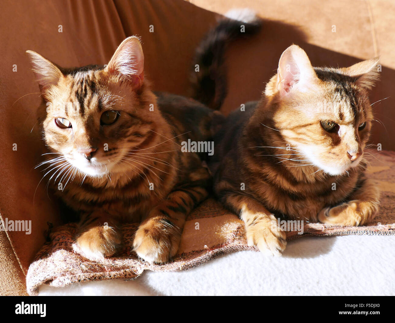 714bd3d708 Bengal cat  Marble bengal cashmere cat and marble bengal cat taken at home  sitting next to eachother in the sun