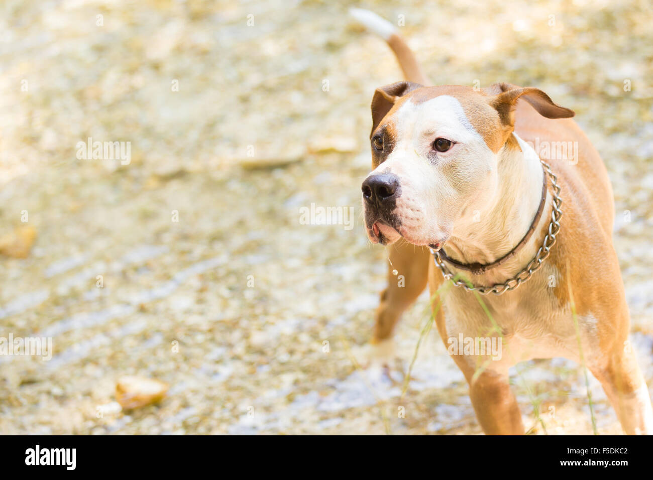 American staffordshire terrier dog playing in water. - Stock Image