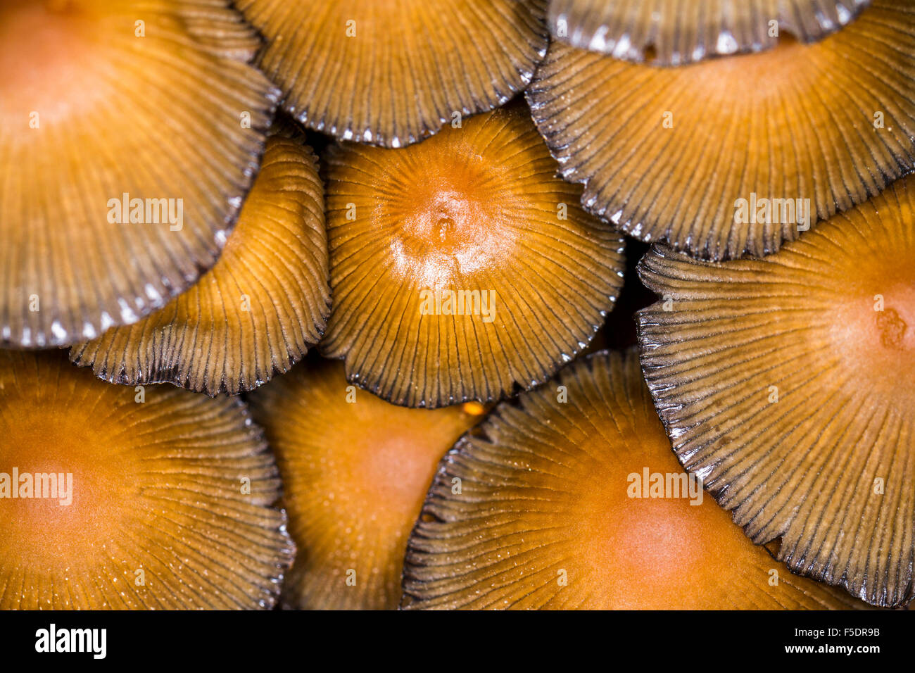 Landscape image of the tops of a cluster of woodland fungi/fungus packed together tightly - Stock Image
