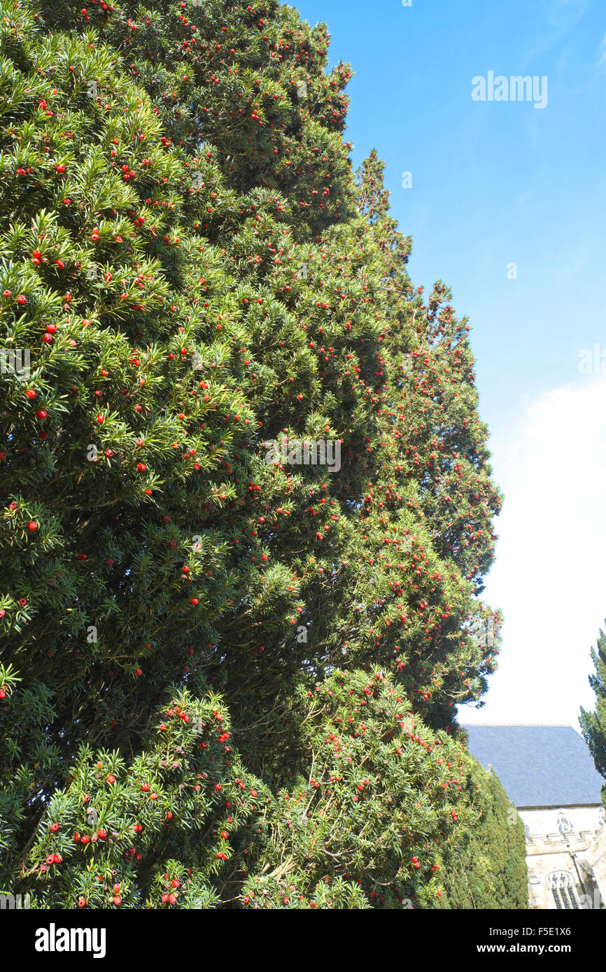 Yew tree with bright red female berries - Stock Image