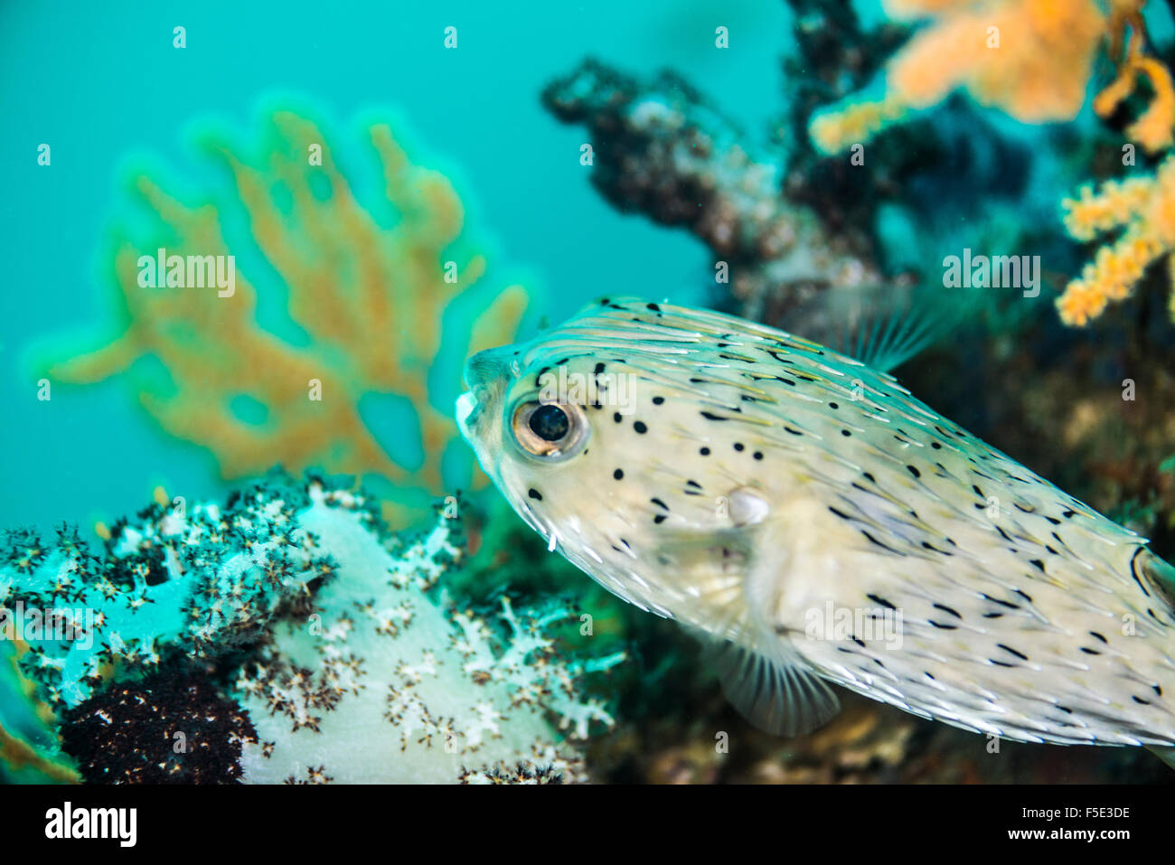Freckled Porcupinefish. at Owase Mie Japan - Stock Image