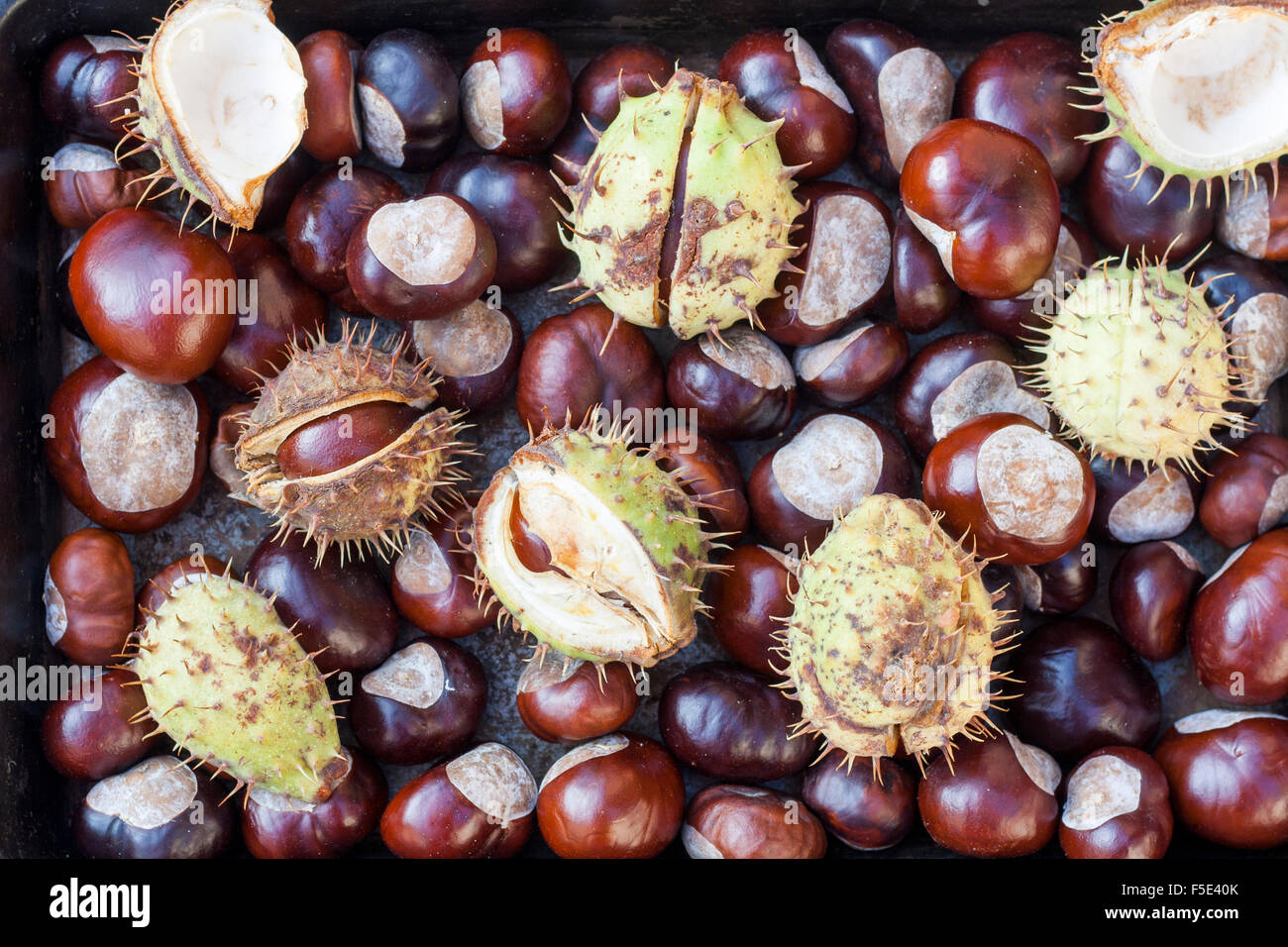 Rich brown autumn conkers from a horse chestnut tree as an abstract background texture - Stock Image