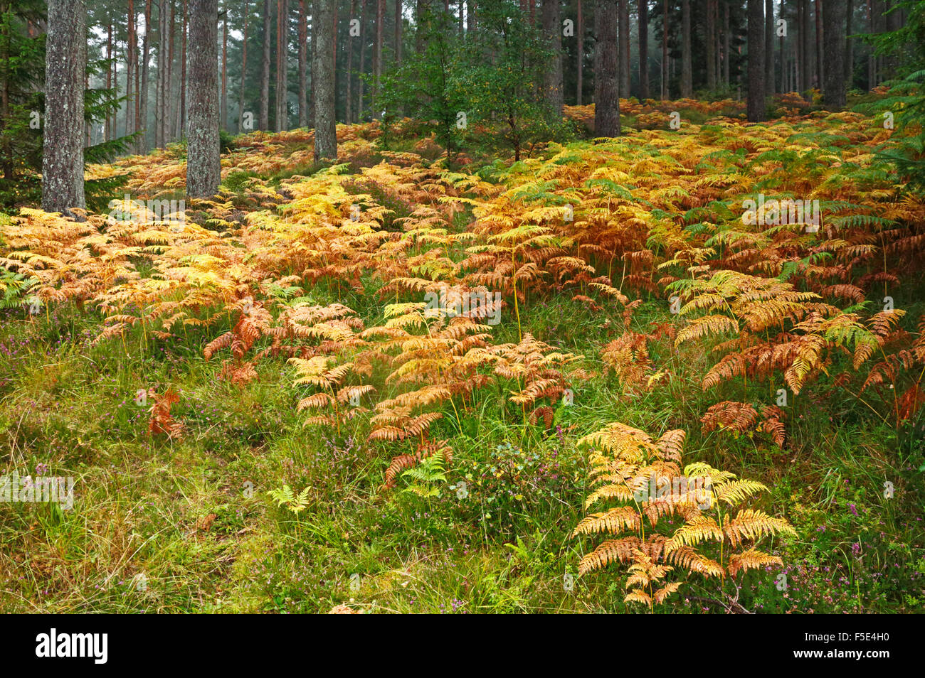 A view of Bracken in autumn colour on the forested slopes of The Bin Forest, near Huntley, Aberdeenshire, Scotland, - Stock Image