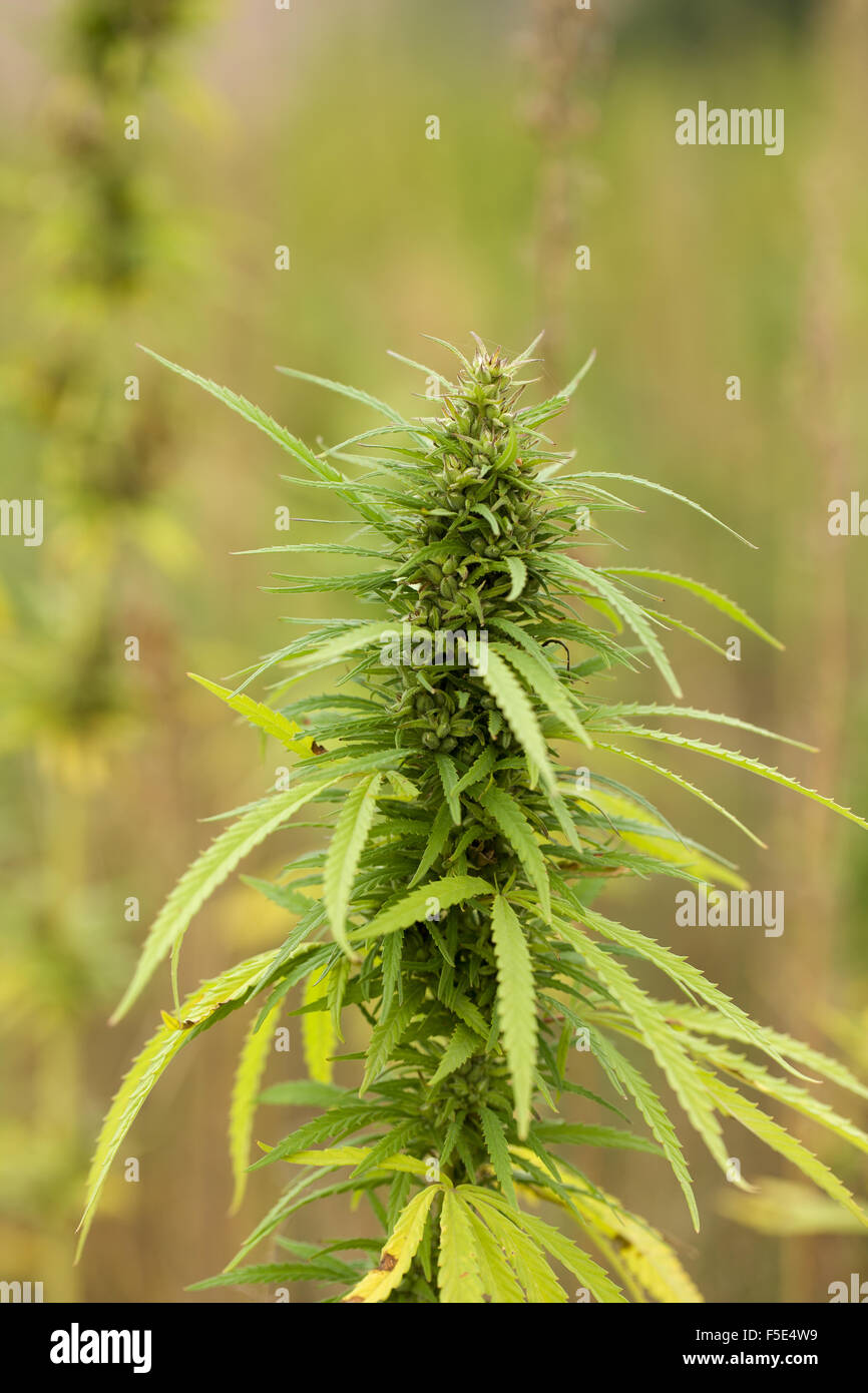 Mature weed plant pictures