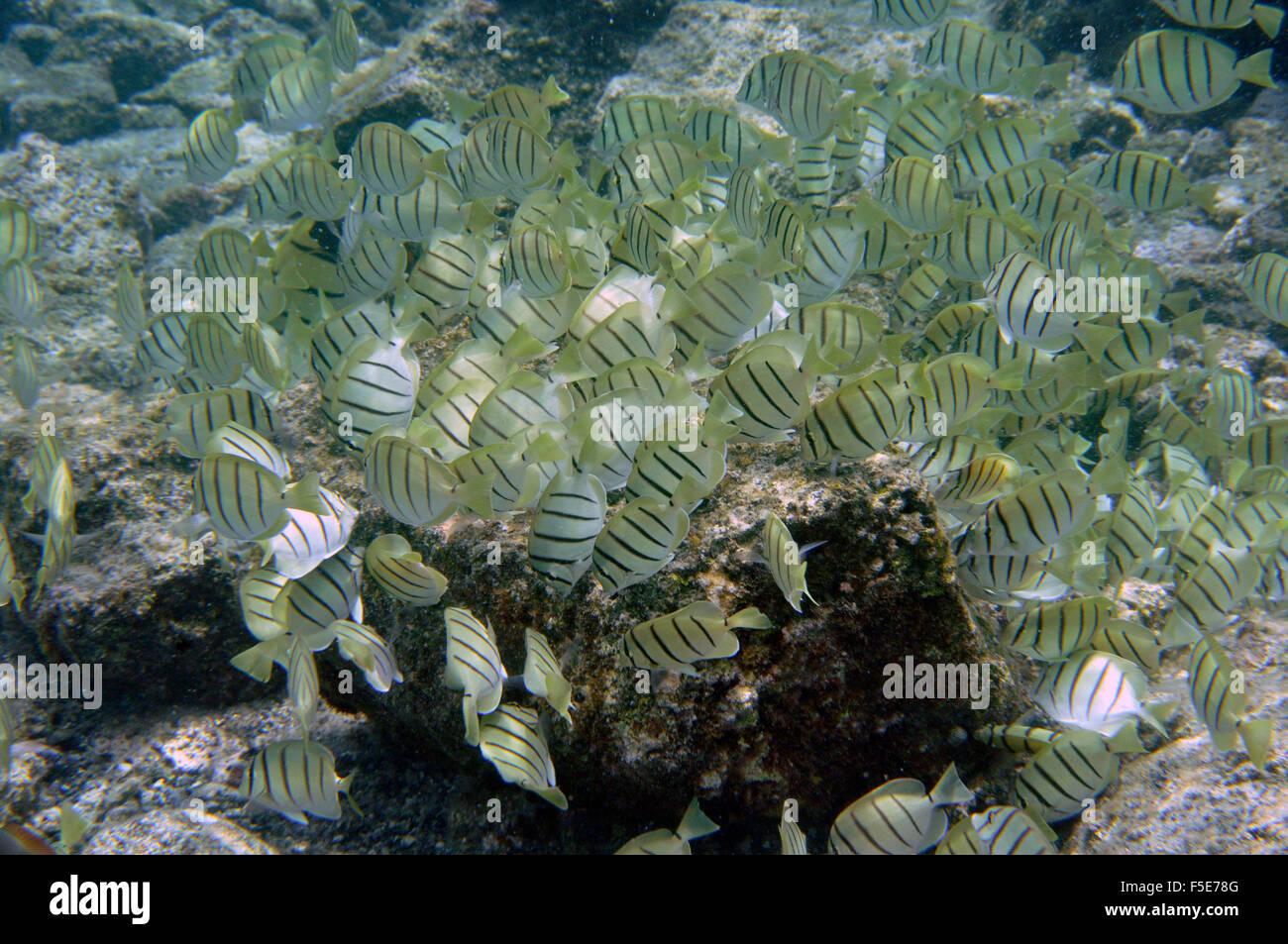 Aggregation of convict tang or manini, Acanthurus triostegus, feeding on algae, Waiopae tide pools, Kapoho, Big - Stock Image