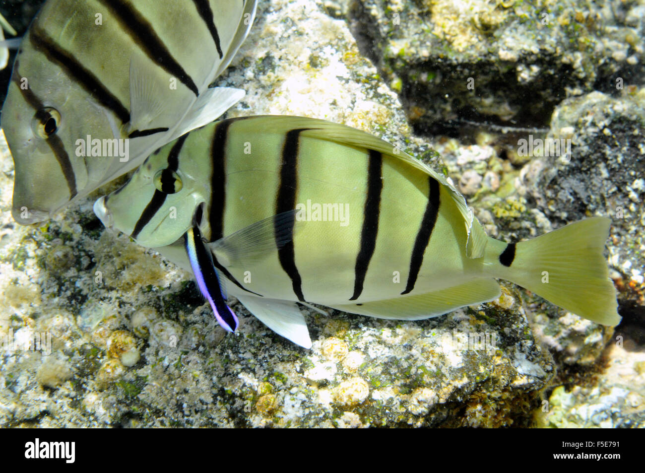 Convict tangs or manini, Acanthurus triostegus, get cleaned by Hawaiian cleaner wrasse, Labroides phthirophagus, Kapoho, Hawaii Stock Photo