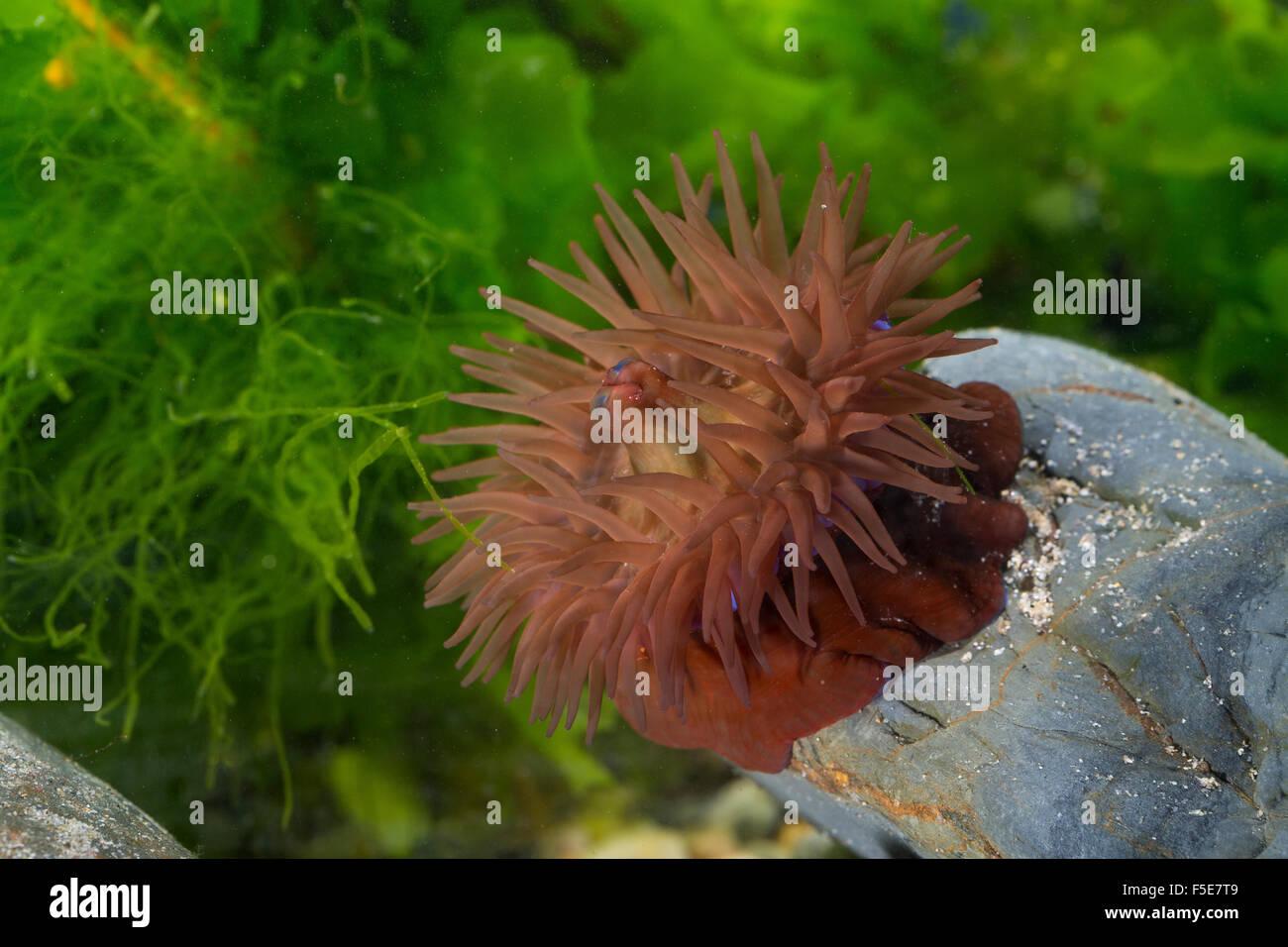 Beadlet anemone, sea anemone, beadlet-anemone, Pferdeaktinie, Pferde-Aktinie, Purpurrose, Actinia equina, Seeanemone - Stock Image