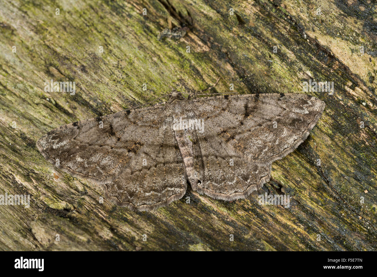 Willow Beauty, Rauten-Rindenspanner, Rhombenspanner, Peribatodes rhomboidaria, Boarmia defloraria, Boarmia syritaurica, - Stock Image