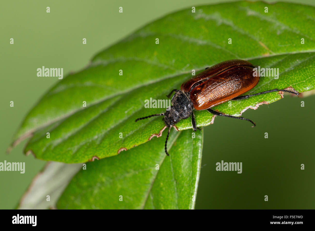Comb-clawed beetle, Comb clawed beetle, Pflanzenkäfer, Omophlus spec., Odontomophlus spec., Pflanzenkäfer, - Stock Image