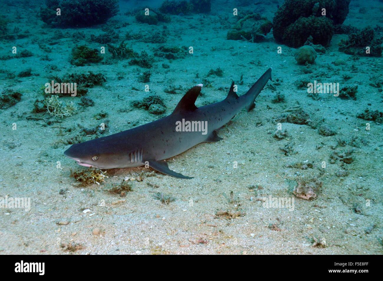 Whitetip reef shark, Triaenodon obesus, Seche Croissant, Noumea, New Caledonia - Stock Image