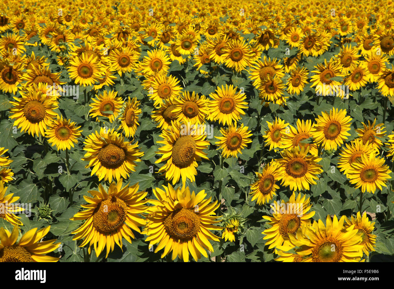 Sunflowers at Arles Vincent van Gogh France Europe - Stock Image