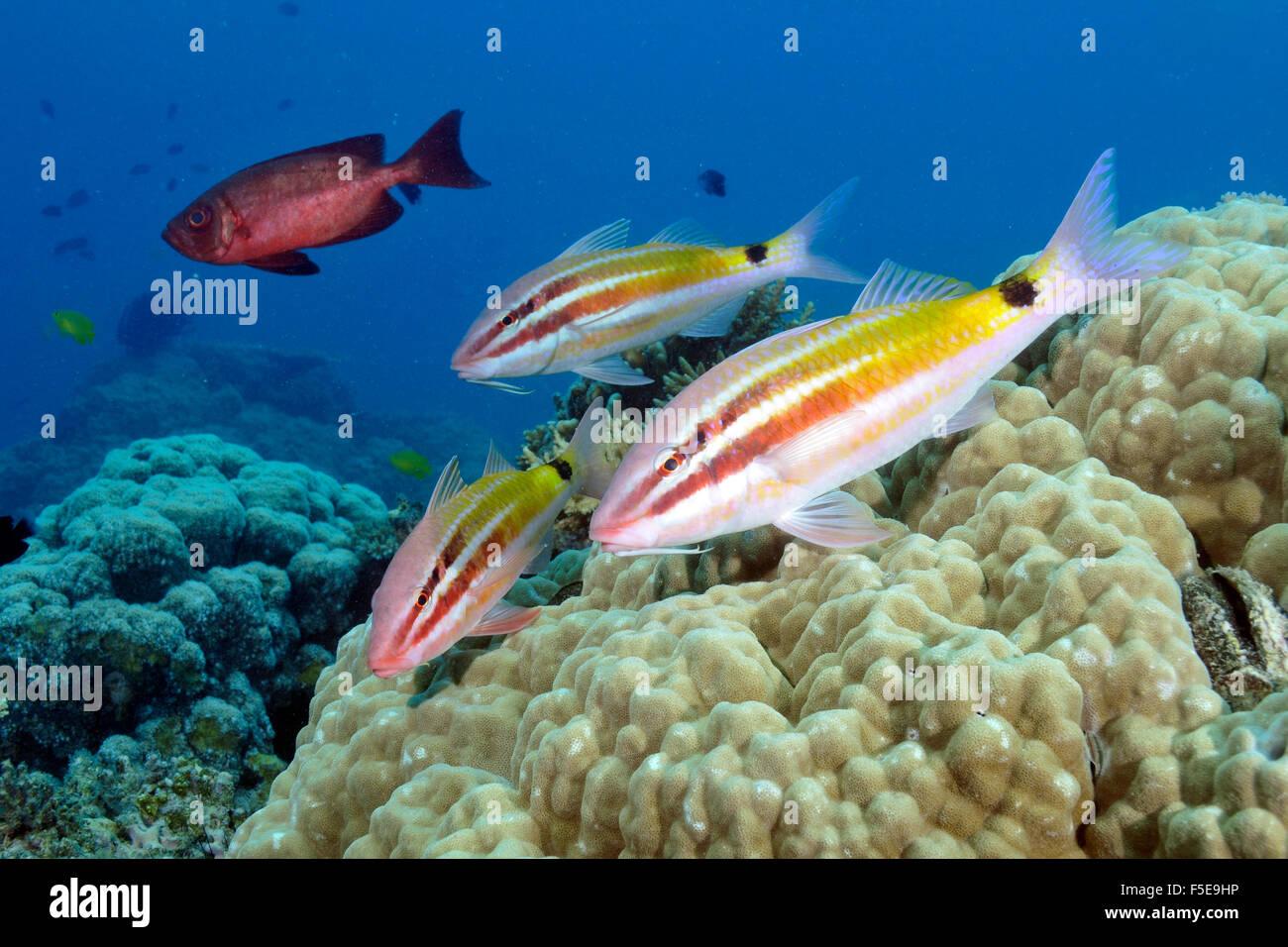 Blacksaddle goatfish, Parupeneus spilurus, in a coral reef, Seche Croissant, Noumea, New Caledonia - Stock Image