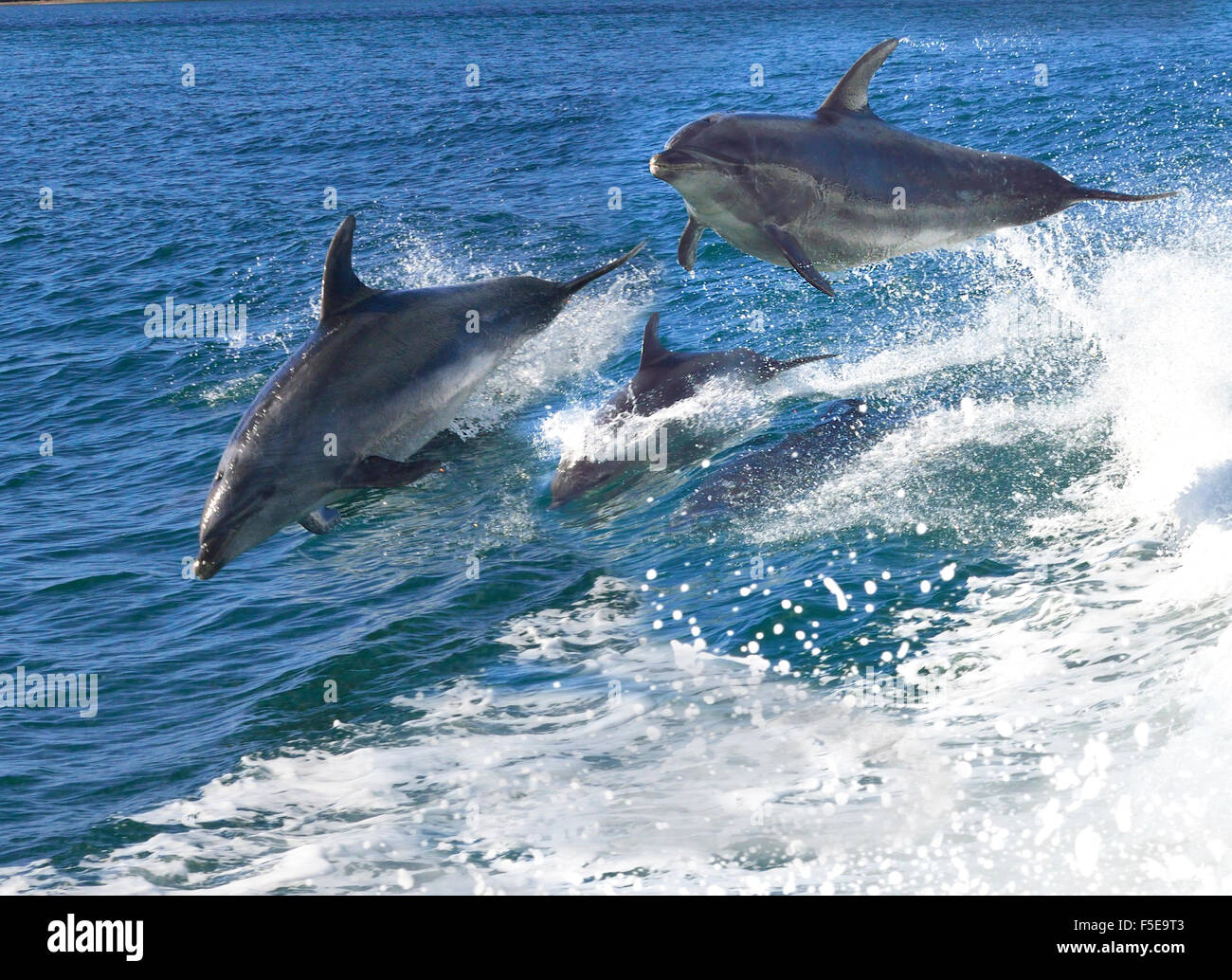 Playful bottlenose dolphins  who flock to the region playing in the  boats stern -wake Bay of Islands Northland - Stock Image