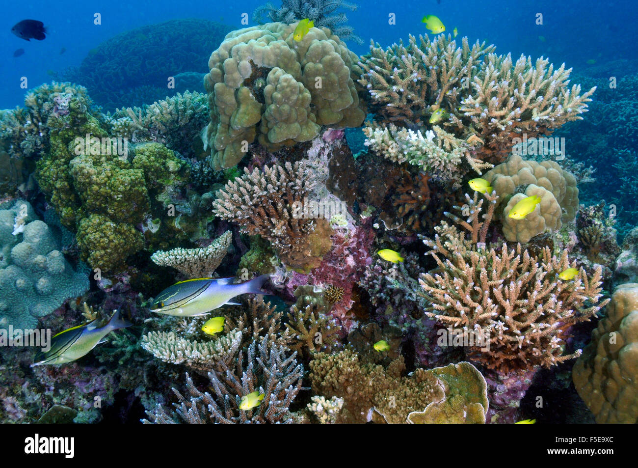 Highly diverse coral reef with fishes at Seche Croissant, Noumea, New Caledonia - Stock Image