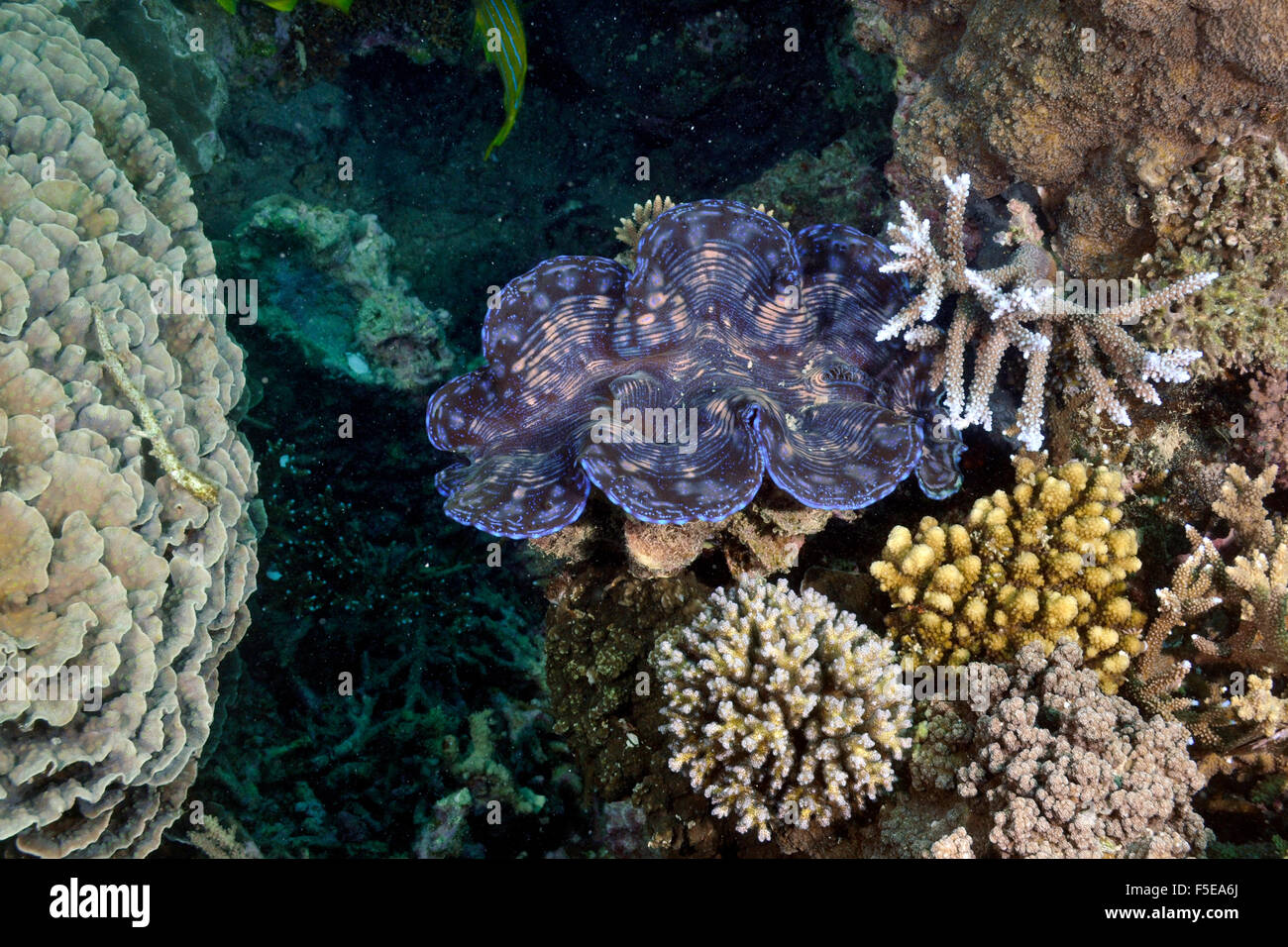 Giant clam, Tridacna maxima, in a coral reef at Seche Croissant, Noumea, New Caledonia - Stock Image