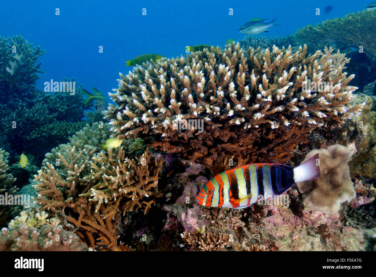 Harlequin tuskfish, Choerodon fasciatus, under a staghorn coral, Seche Croissant, Noumea, New Caledonia - Stock Image