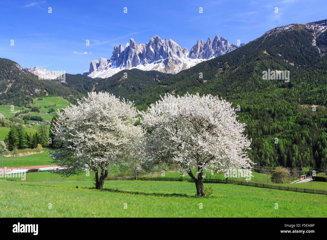 The Odle in background enhanced by flowering trees, Funes Valley, South Tyrol, Dolomites, Italy, Europe - Stock Image