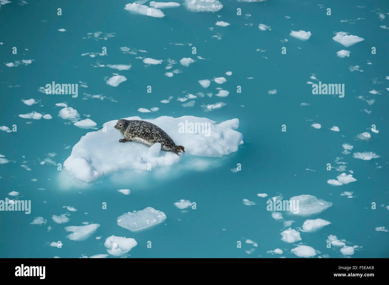 Harbour seal on ice floe, Glacier Bay, Alaska, United States of America, North America - Stock Image