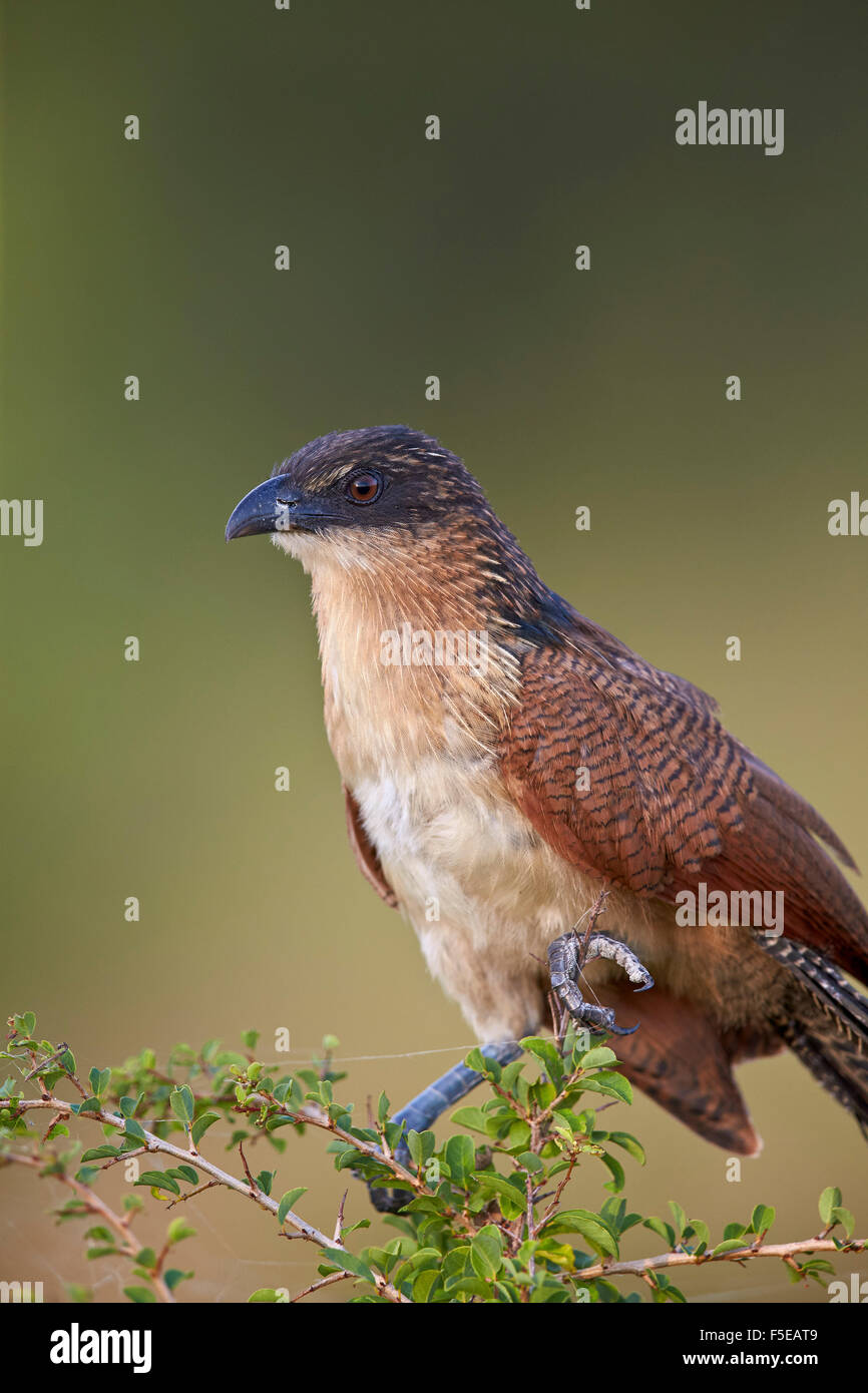 Burchell's coucal (Centropus burchellii), Kruger National Park, South Africa, Africa - Stock Image