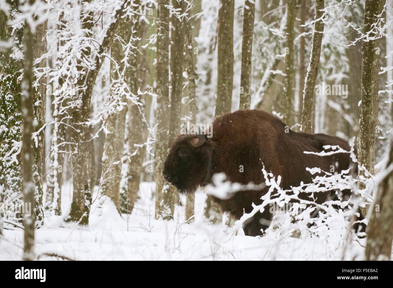 European bison (Bison bonasus) bull with radio tracking collar, Bialowieza National Park, Podlaskie Voivodeship, - Stock Image
