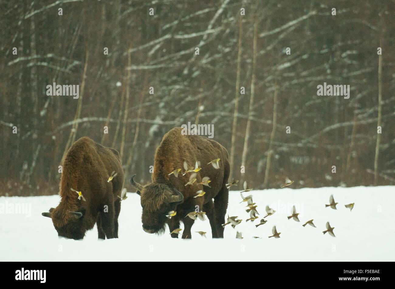 European bison (Bison bonasus) bull, with yellowhammer flock in flight, Bialowieza National Park, Podlaskie Voivodeship, - Stock Image