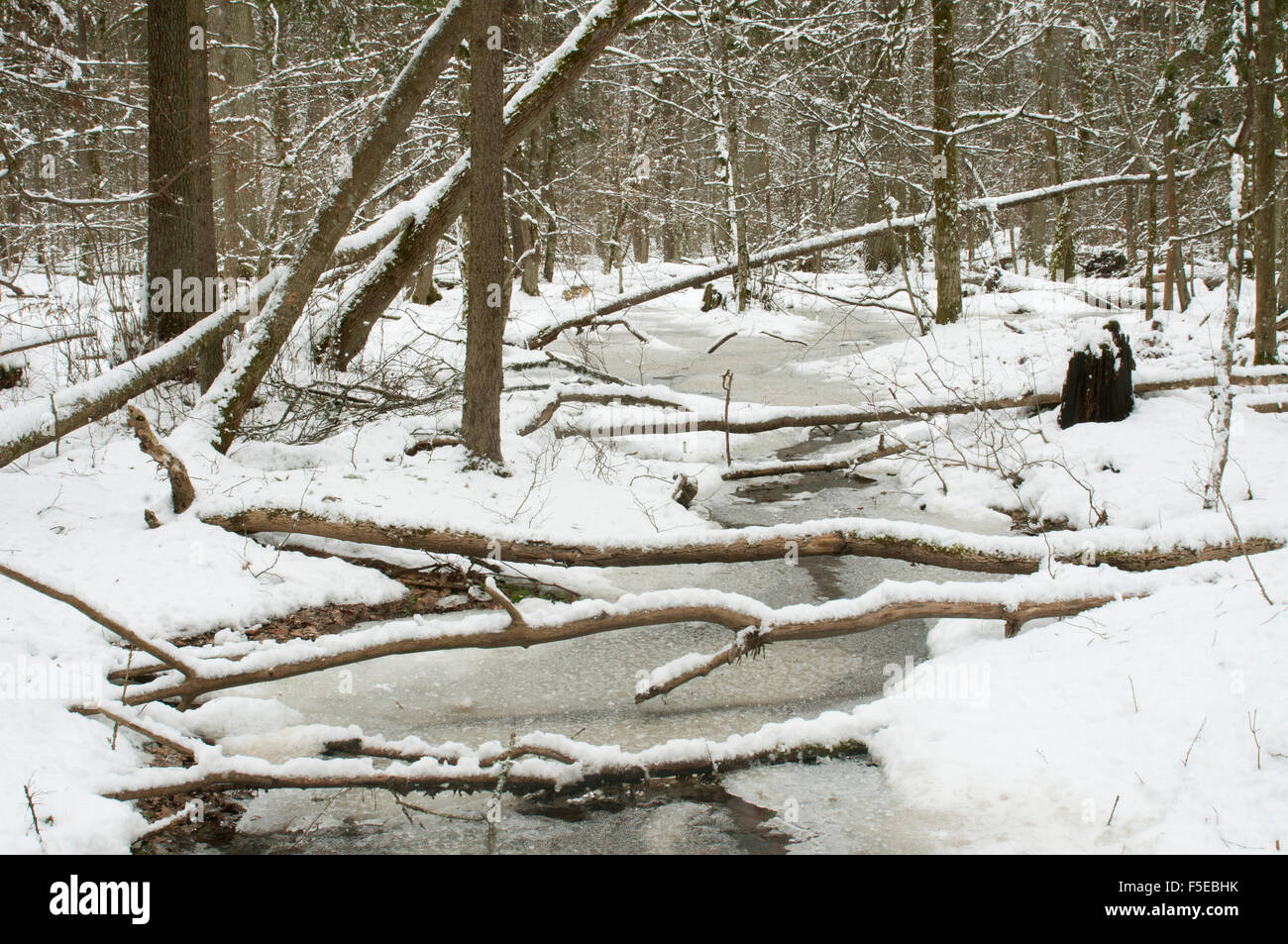 Frozen wetland area, Bialowieza Strictly Protected Area, UNESCO, Bialowieza National Park, Podlaskie Voivodeship, Stock Photo