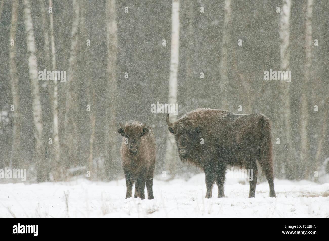 European bison (Bison bonasus) female with calf, Bialowieza National Park, Podlaskie Voivodeship, Poland - Stock Image