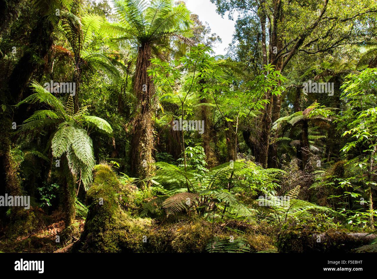 Tree ferns in Glow Worm Dell (Miniehaha), Fox Glacier village, Westland, South Island, New Zealand, Pacific - Stock Image