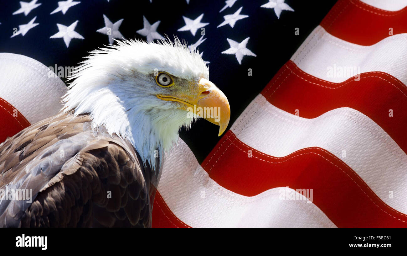 Background Wallpaper North American Bald Eagle On American Flag