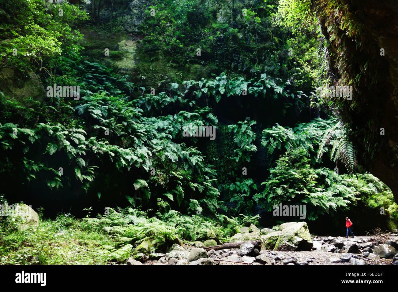 Laurel forest, Los Tilos Biosphere Reserve, La Palma, Canary Islands, Spain, Europe - Stock Image