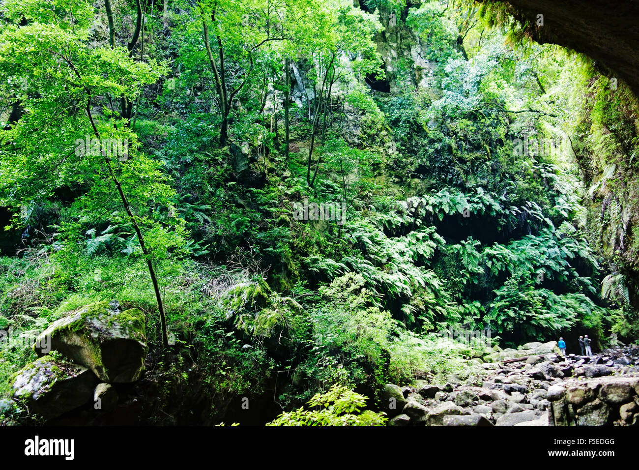 Laurel forest, Los Tilos Biosphere Reserve, La Palma, Canary Islands, Spain, Europe - Stock Image