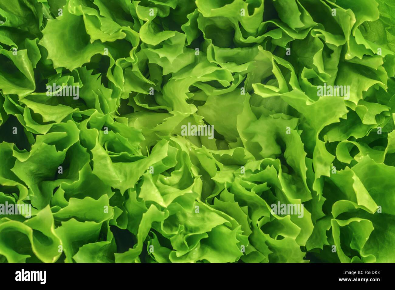 raw lettuce salad background texture - Stock Image