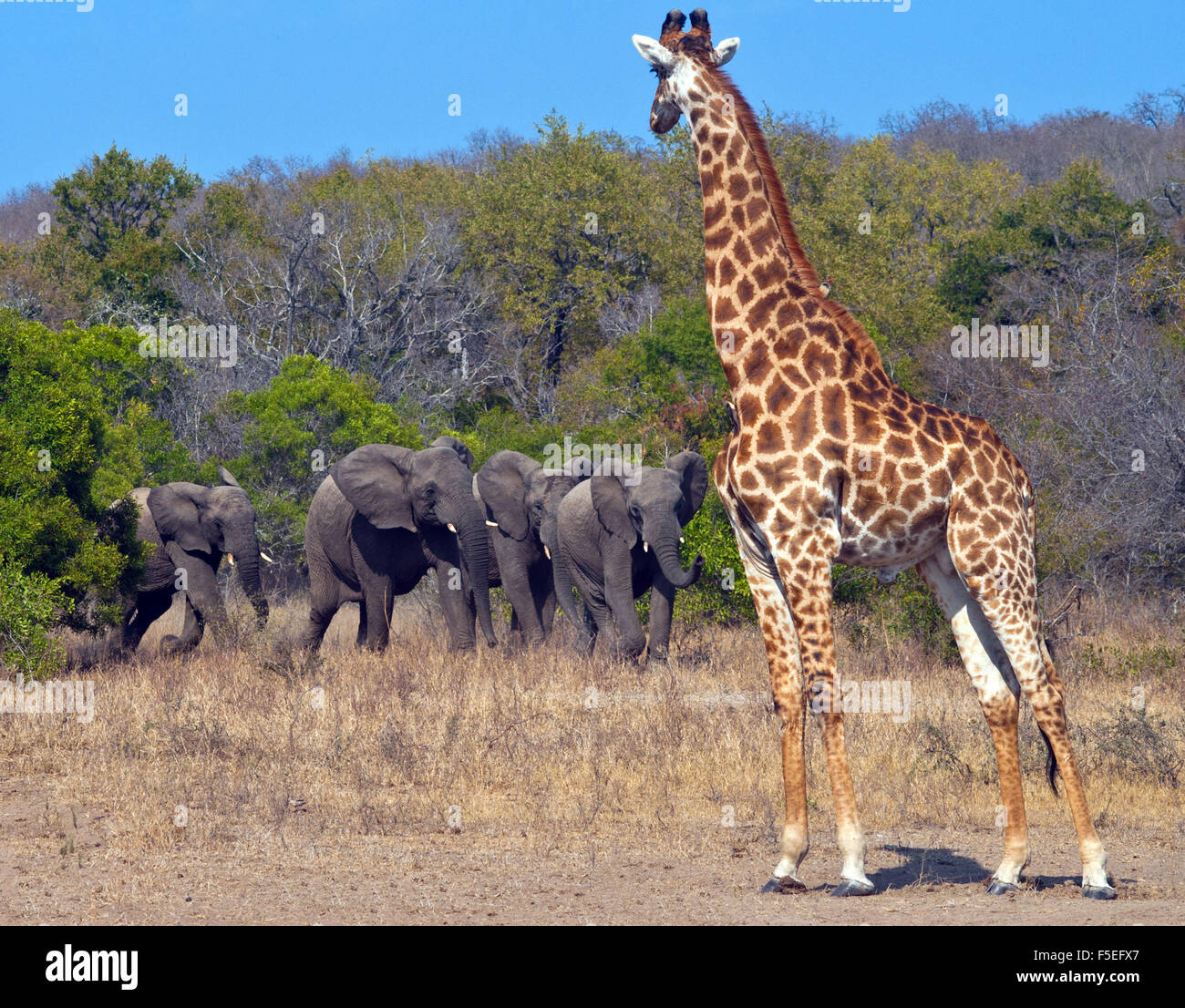 Giraffe and herd of elephants, South Africa Stock Photo
