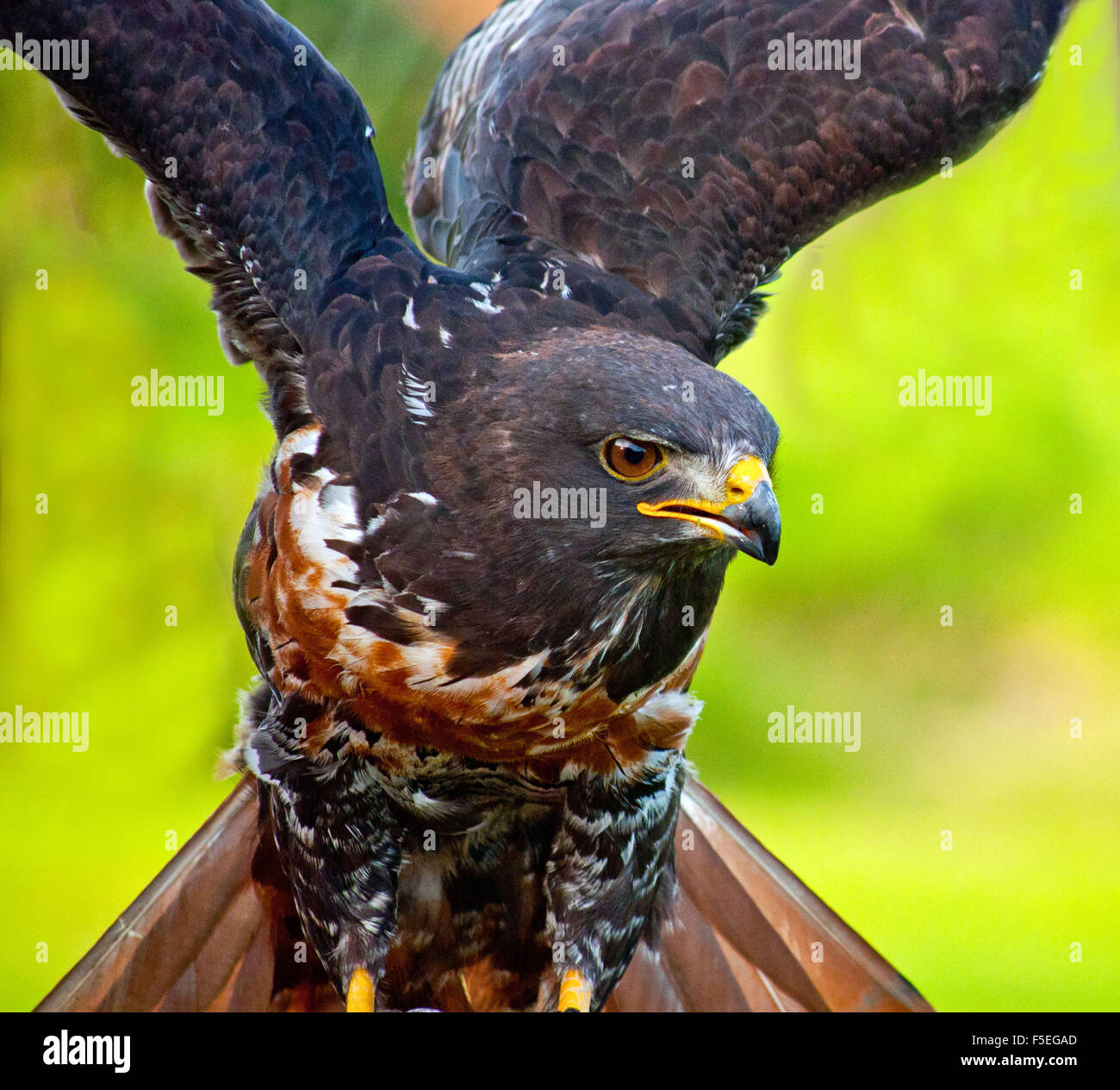Eagle with wings spread, Western Cape, South Africa - Stock Image