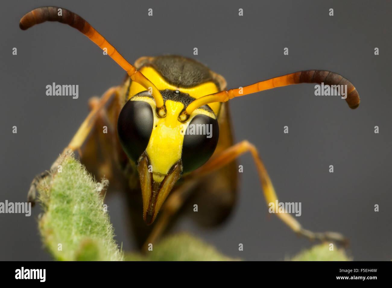 Wasp Macro Stock Photos & Wasp Macro Stock Images - Alamy