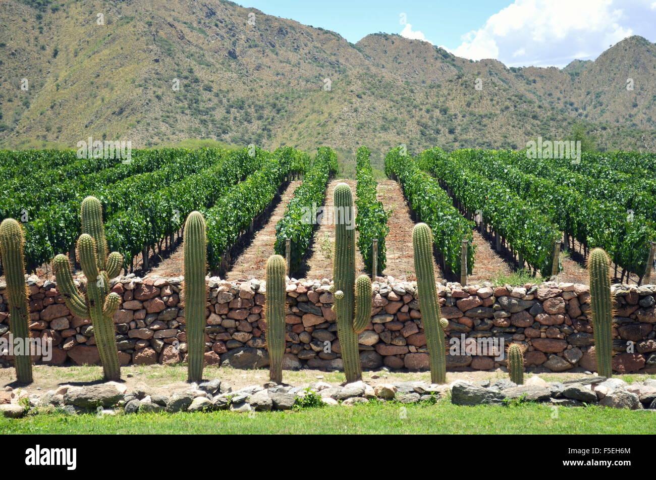 Vineyard, Cafayate, Salta, Argentina - Stock Image