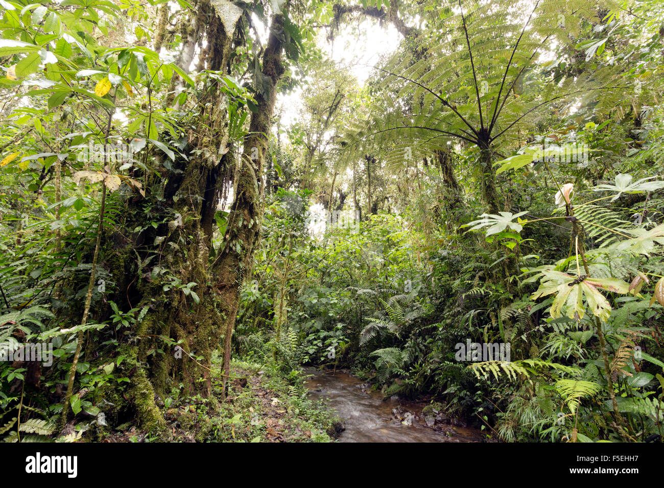 Humid cloudforest at 2,200m elevation on the Amazonian slopes of the Andes in Ecuador, Tree fern and stream. - Stock Image