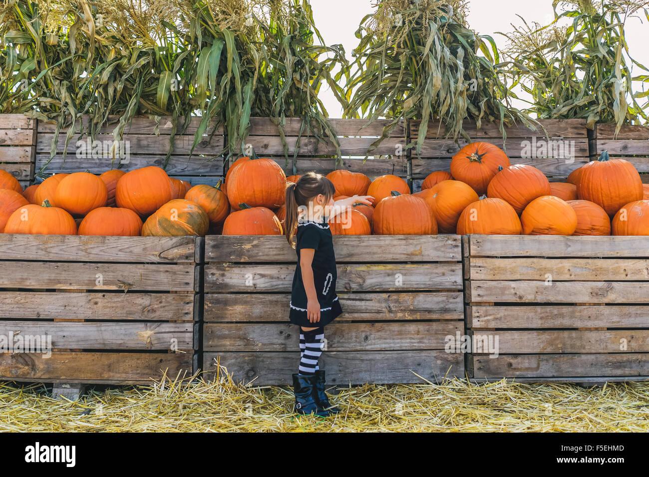 Girl picking out pumpkins at pumpkin farm - Stock Image
