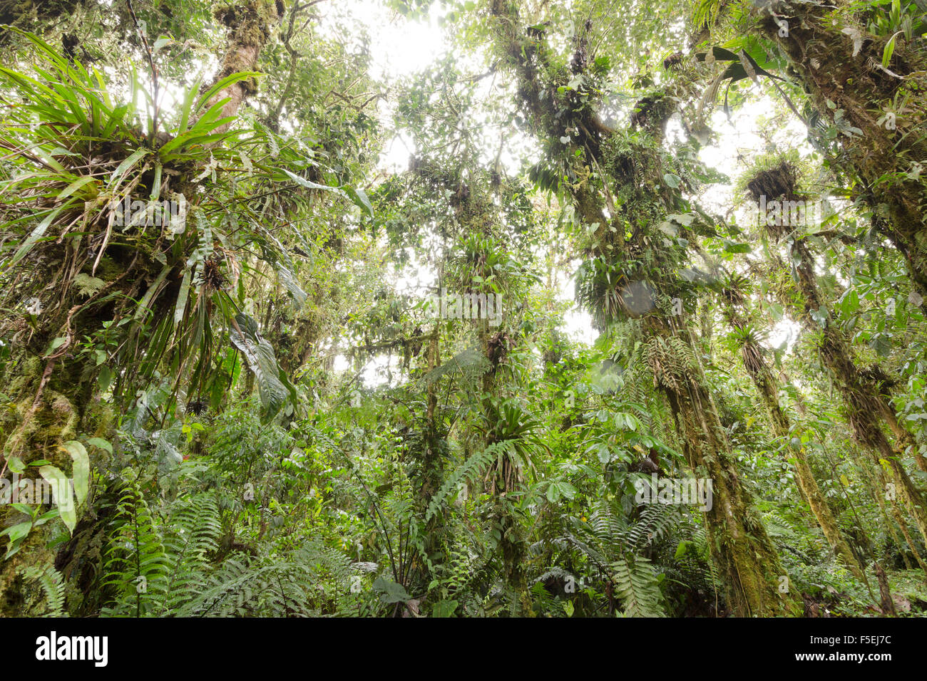 Epiphyte laden trees in humid cloudforest at 2,200m elevation on the Amazonian slopes of the Andes in Ecuador - Stock Image
