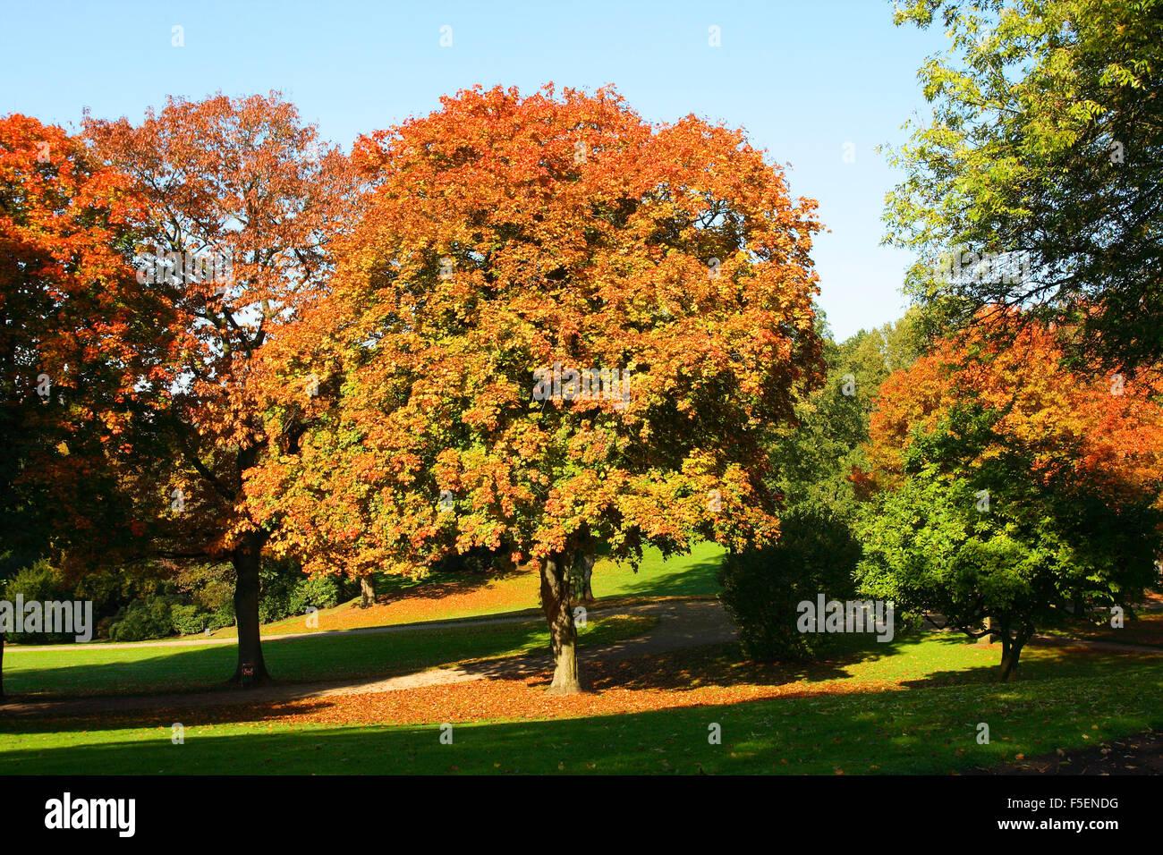 Sycamore Maple Tree, Acer pseudoplatanus. Autumn Stock Photo