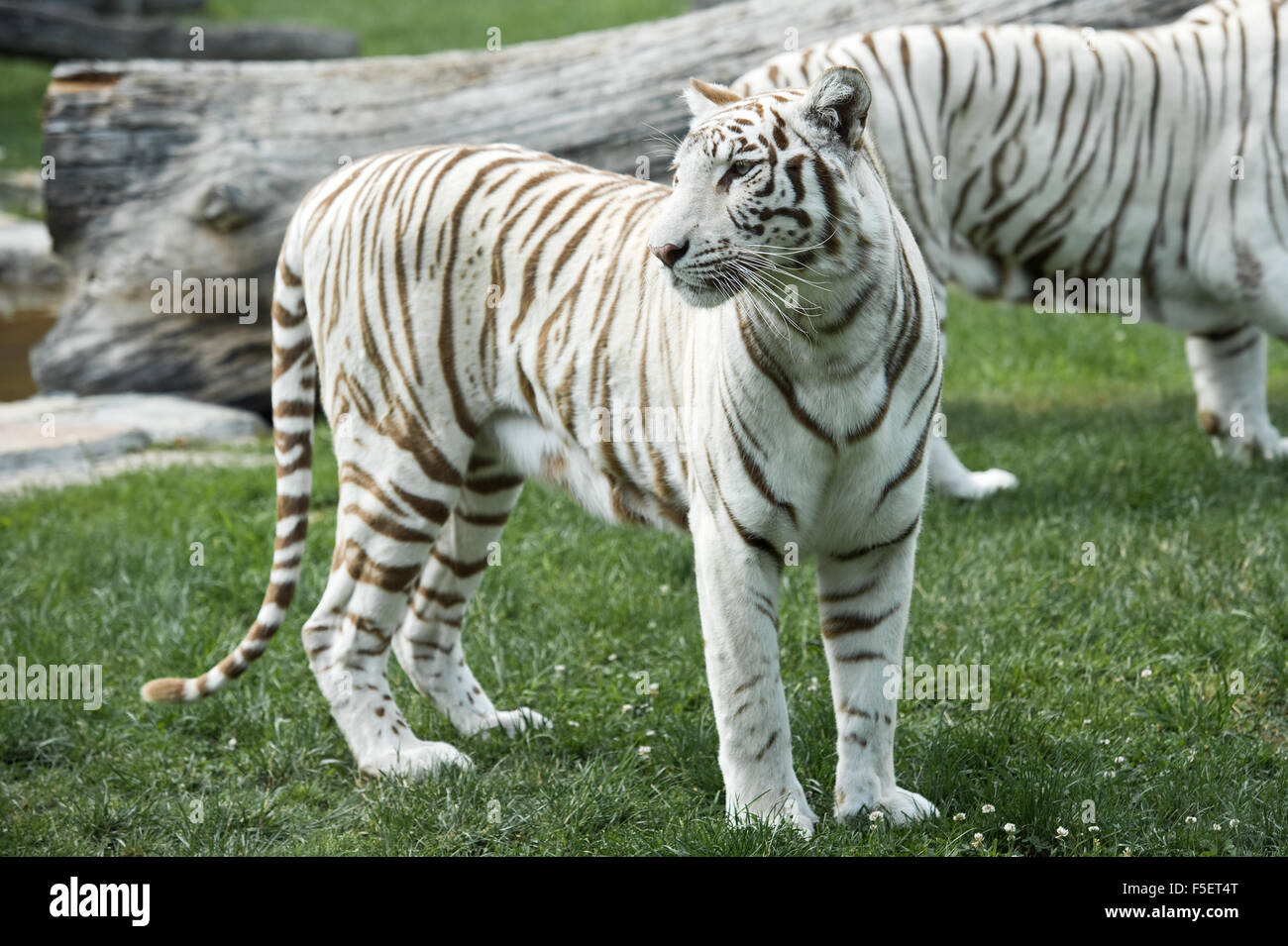 Female of white Bengal tiger - Stock Image