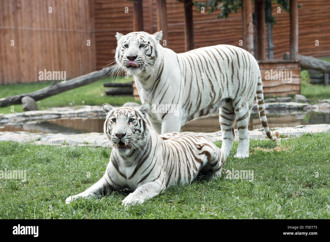 Two white Bengal tigers pictured in ZOO enclosure - Stock Image